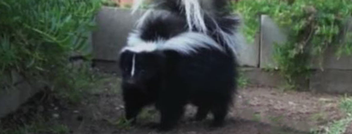 How Do You Know If You Have A Skunk Under Your Shed Or Porch